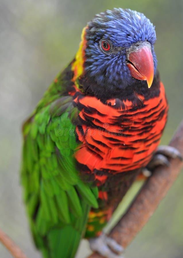 Lorikeet australien d'arc-en-ciel, Queensland, australie image stock
