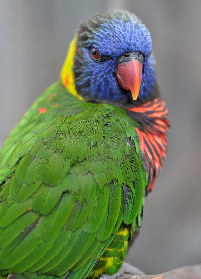 Lorikeet australien d'arc-en-ciel, Queensland, australie photo stock