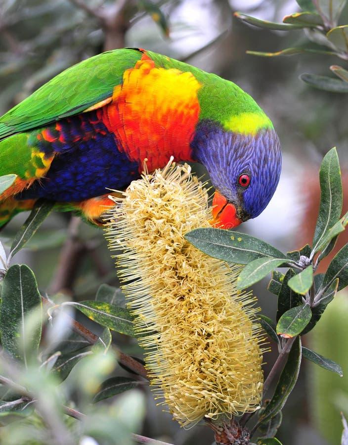 lorikeet australijska tęcza obraz stock