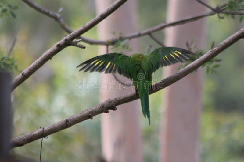 Lorikeet avec des couleurs vertes et jaunes image stock