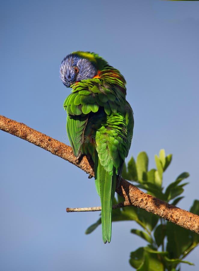 Lorikeet in branch, Australia