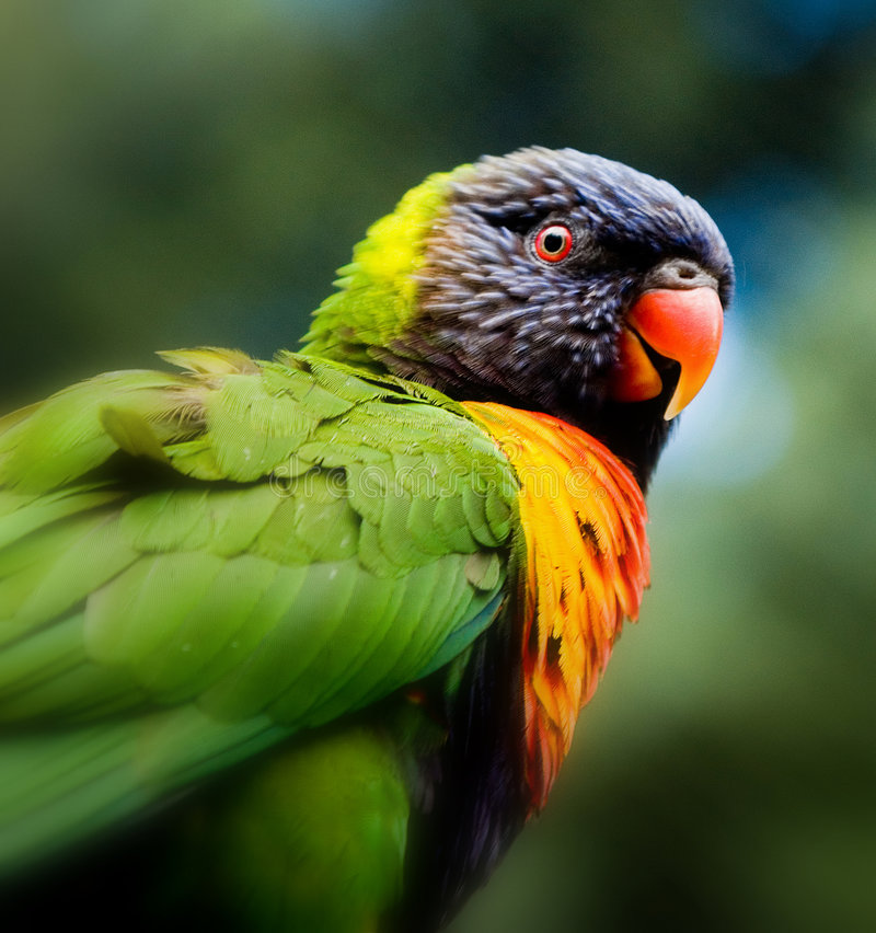 Download Lorikeet Close Up stock photo. Image of nature, feathered - 2073106