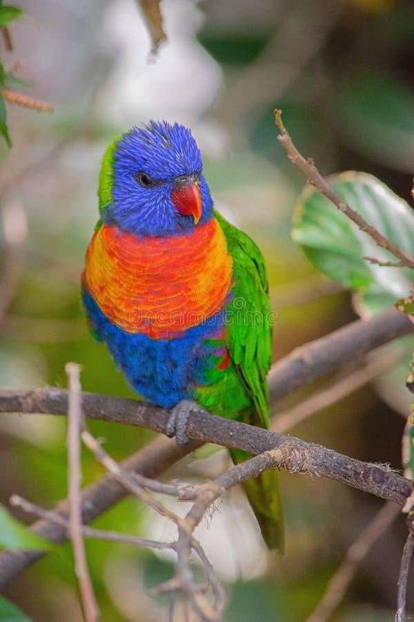 Lorikeet d'arc-en-ciel, oiseau, couleur, arbre images libres de droits