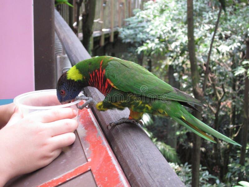 Lorikeet d'arc-en-ciel ou oiseau de perroquet photographie stock libre de droits