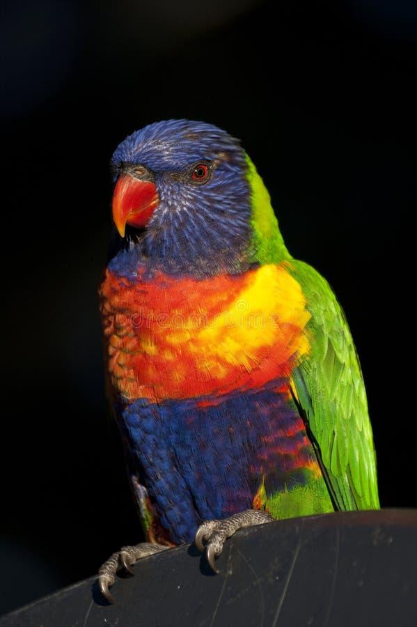 Lorikeet del arco iris foto de archivo libre de regalías