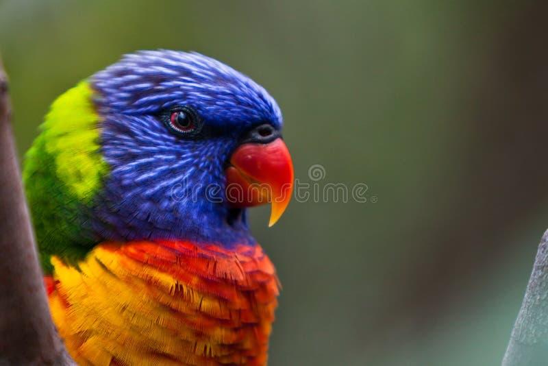 Lorikeet del Rainbow fotografia stock