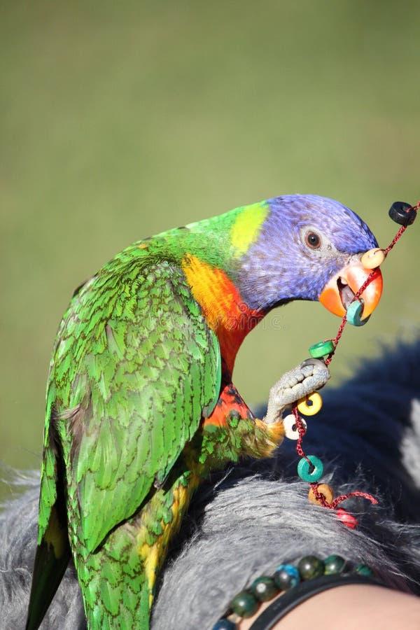 Lorikeet do arco-íris que joga com grânulos imagem de stock