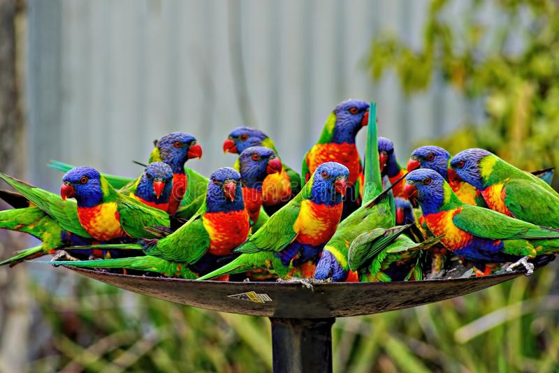 Lorikeet Feeding Time. Lorikeets are very sociable birds. They enjoy each others company and love to be with humans. They fly in large groups. The rainbow royalty free stock photography