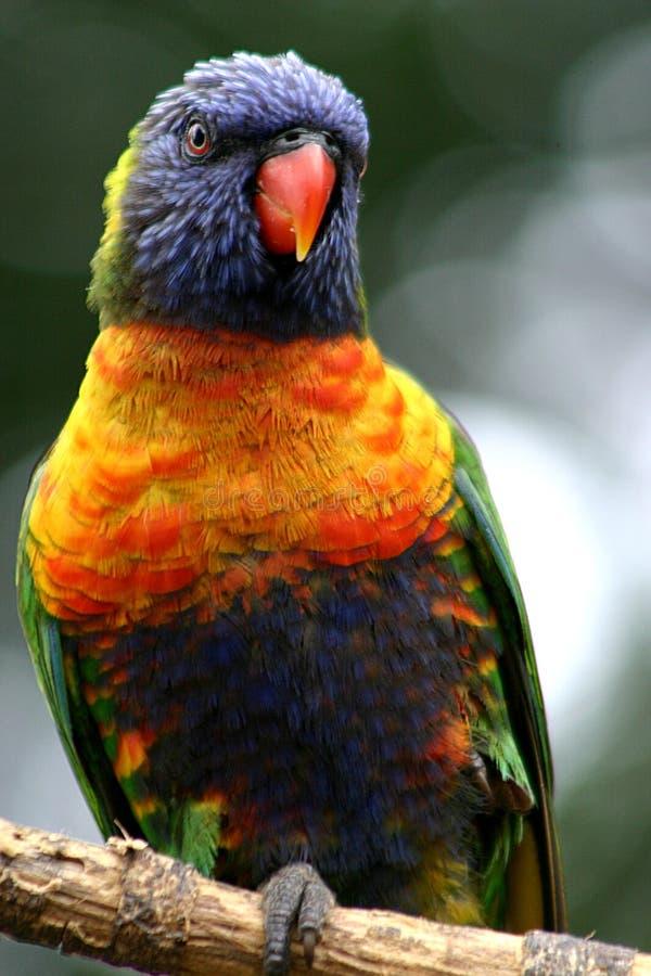 lorikeet rainbow zdjęcie stock