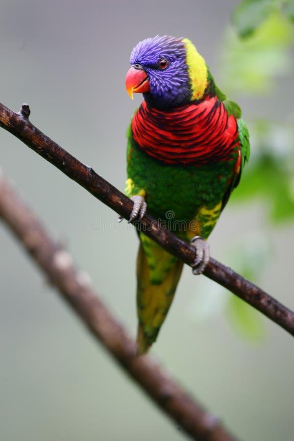 lorikeet rainbow obrazy royalty free