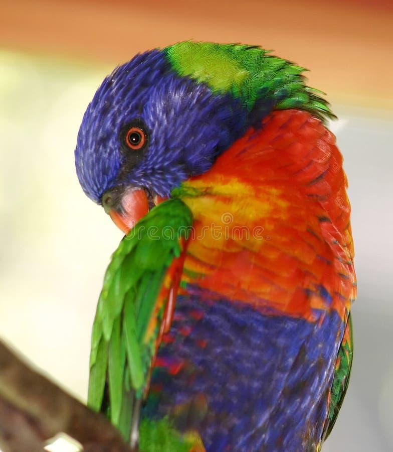 Lorikeet Rainbow Obraz Stock