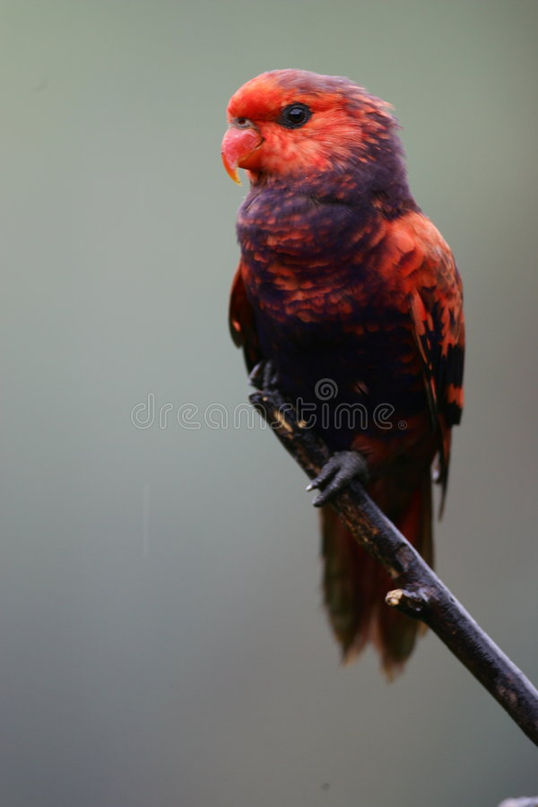 Lorikeet rouge et bleu photo stock