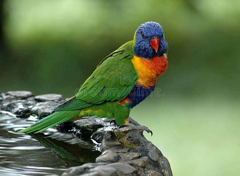 Download Lorikeetregnbåge fotografering för bildbyråer. Bild av papegoja - 279937