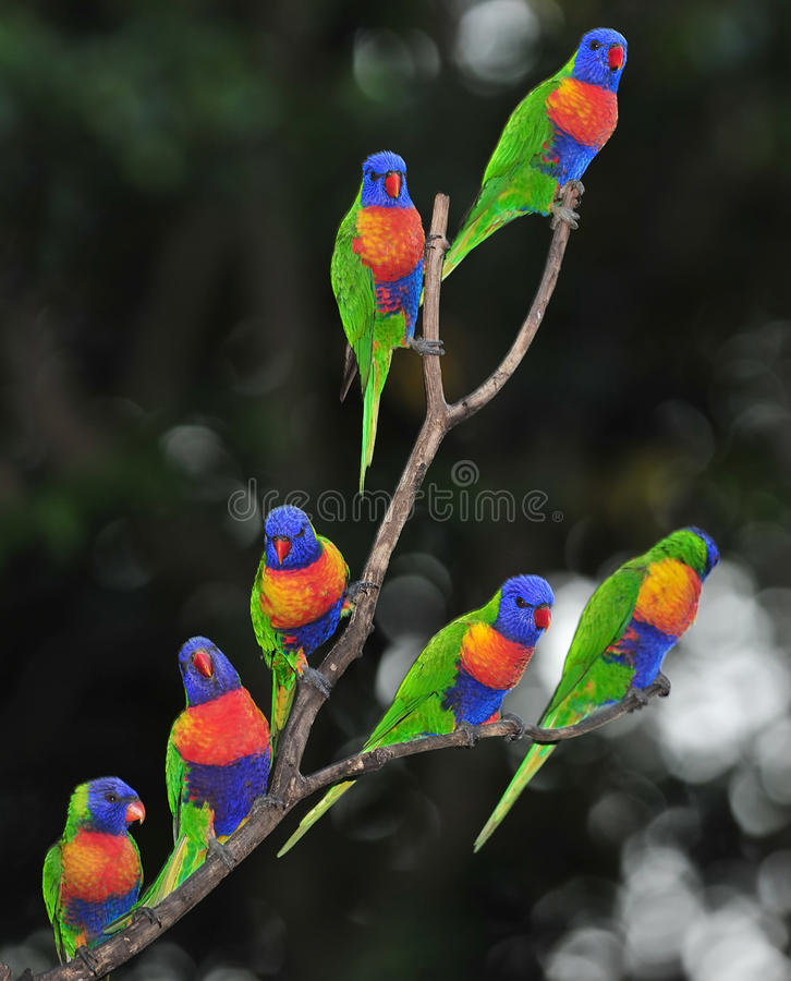 Lorikeets australianos do arco-íris recolhidos na árvore fotos de stock royalty free