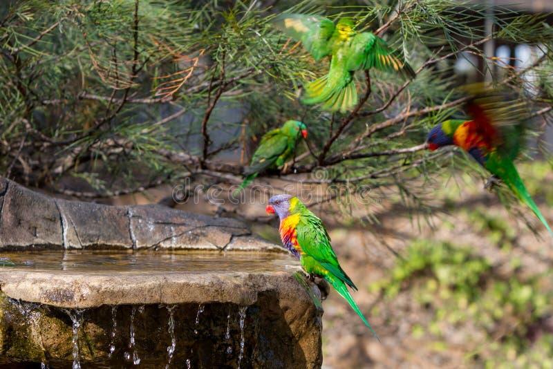 Lorikeets, das nahe einem Vogelbad spielt stockbilder