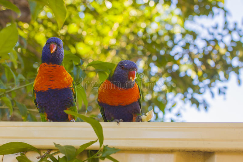 Lorikeets feeding stock image