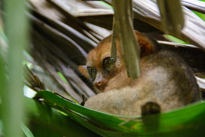Loris lento en la isla de Bohol, Filipinas imagen de archivo