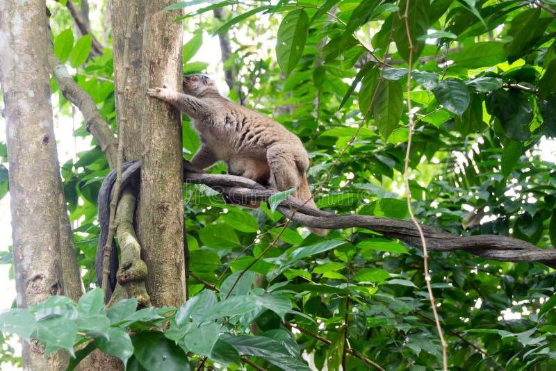 Loris lento que juega en un árbol foto de archivo