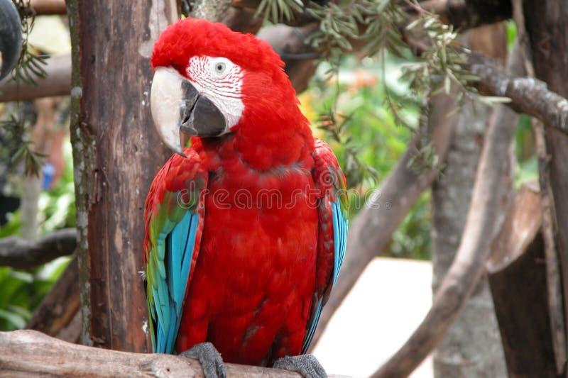 Download Loro foto de archivo. Imagen de doméstico, rojo, loro, pájaro - 189988