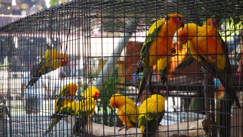 Loro amarillo y anaranjado en una jaula en el parque público Periquito de Jandaya imágenes de archivo libres de regalías