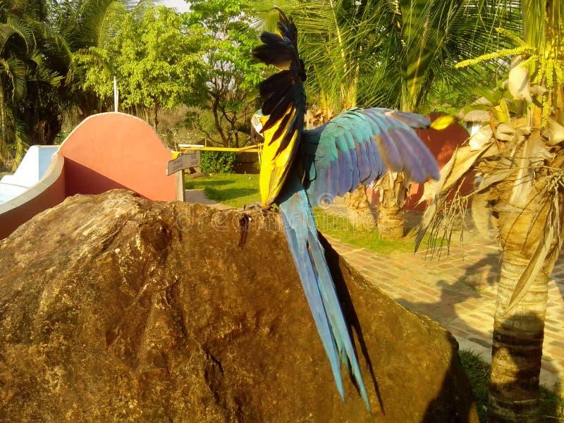 Loro azul amarillo que separa sus alas para volar imágenes de archivo libres de regalías