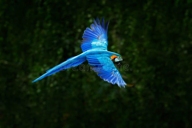 Loro azul grande en mosca Ararauna del Ara en el hábitat verde oscuro del bosque Loro hermoso del macaw de Pantanal, el Brasil Pá foto de archivo