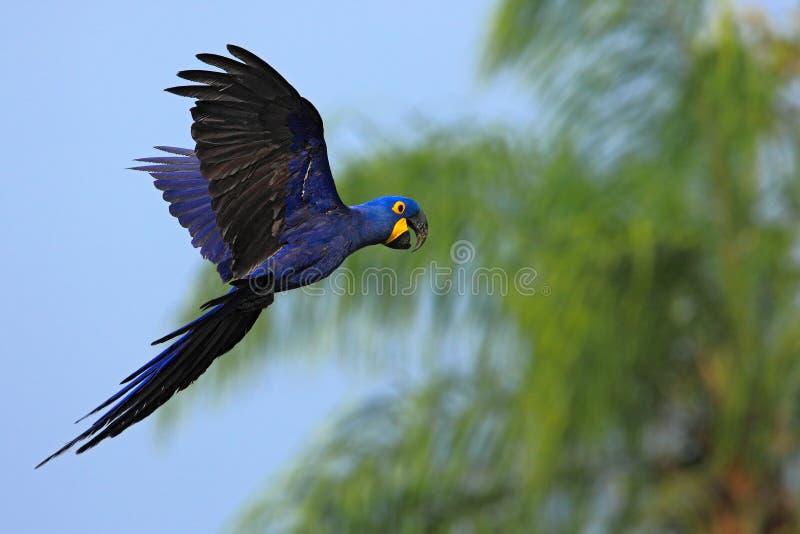 Loro azul grande Hyacinth Macaw, hyacinthinus de Anodorhynchus, vuelo salvaje en el cielo azul marino, escena del pájaro de la ac imágenes de archivo libres de regalías