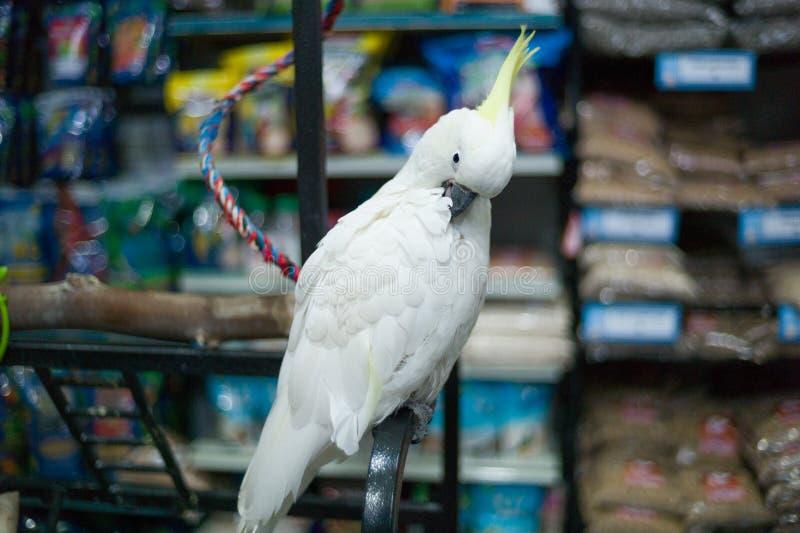 Loro blanco del Cacatua encadenado en una tienda del animal doméstico que espera para ser comprado foto de archivo libre de regalías