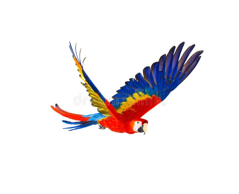Loro colorido del vuelo foto de archivo