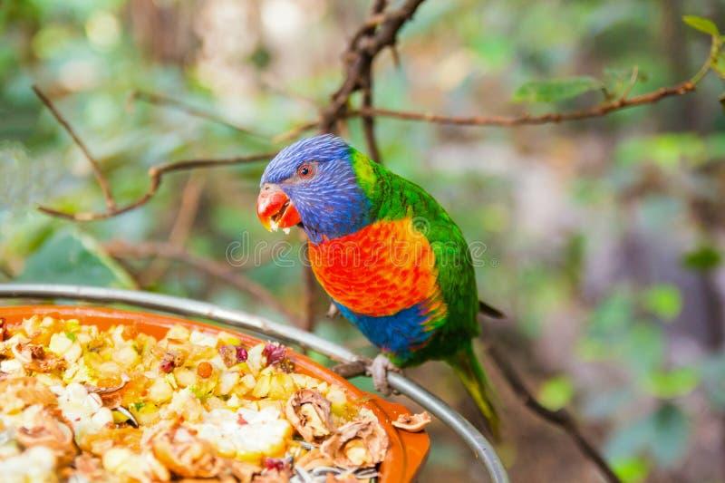 Loro colorido en el parque de Loro, Tenerife foto de archivo libre de regalías