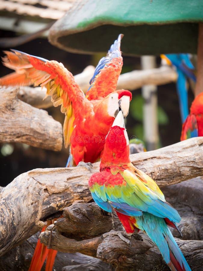 Loro colorido, macaws que se sientan en el mundo del safari del inicio de sesión, Bangkok imágenes de archivo libres de regalías