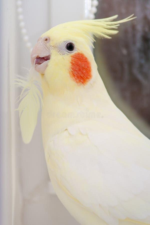 Loro Corella con la pluma en pico Concepto de la muda del pájaro fotografía de archivo libre de regalías