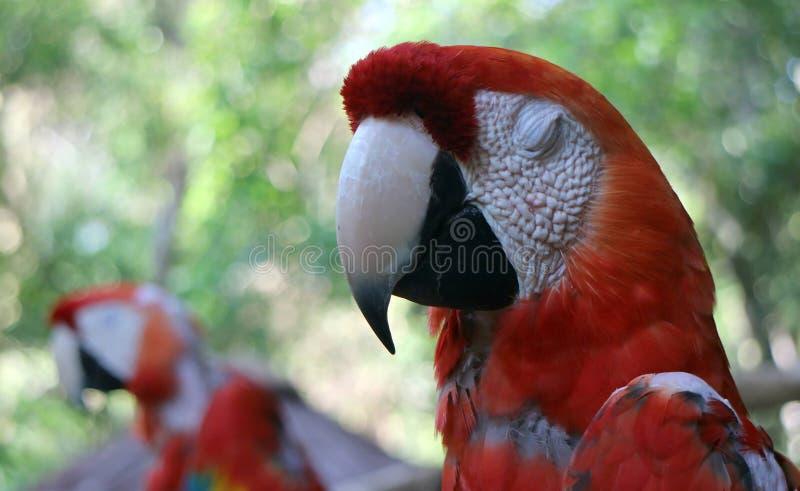 Loro de Neotropical foto de archivo libre de regalías