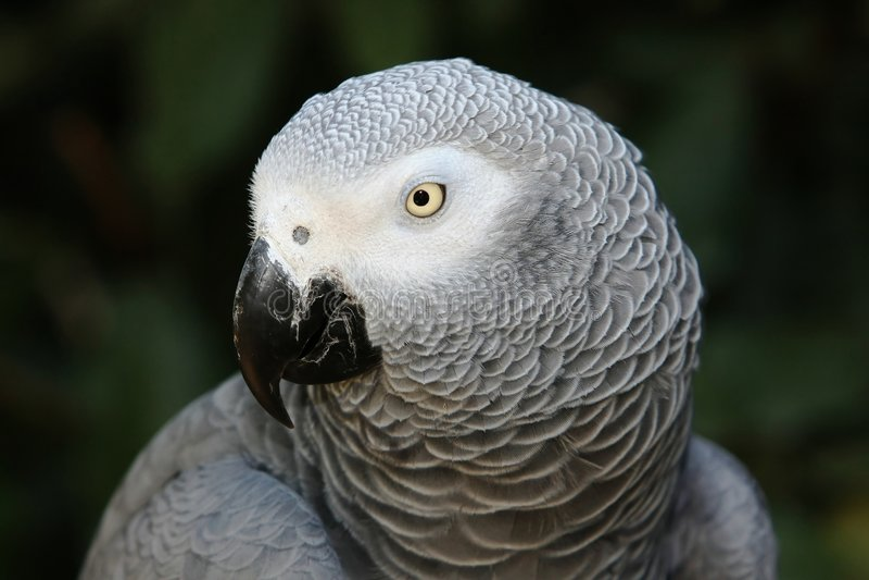 Loro del gris africano foto de archivo