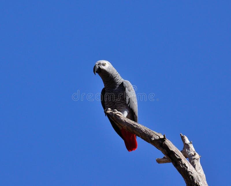Loro del gris africano en rama seca imagen de archivo