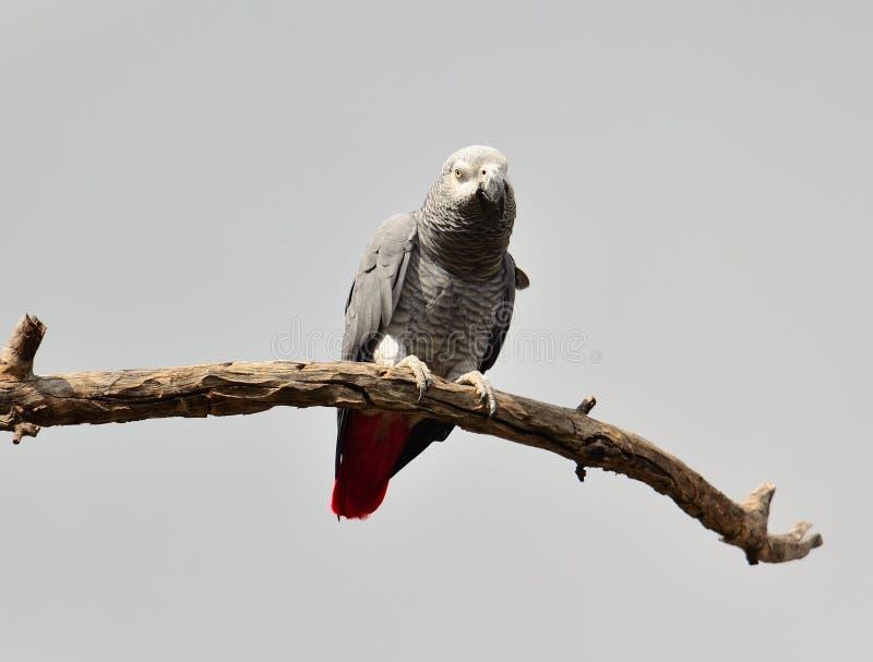 Loro del gris africano en una rama seca imágenes de archivo libres de regalías