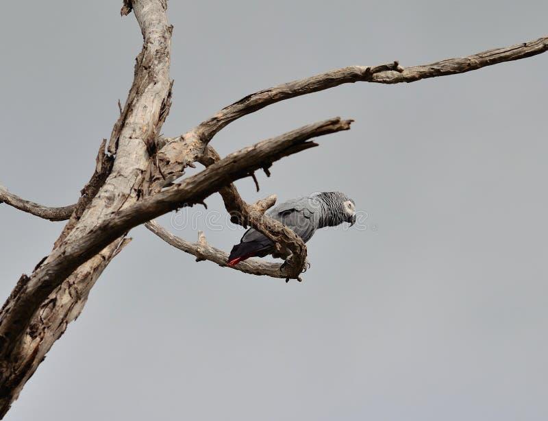 Loro del gris africano entre ramas de árbol foto de archivo libre de regalías
