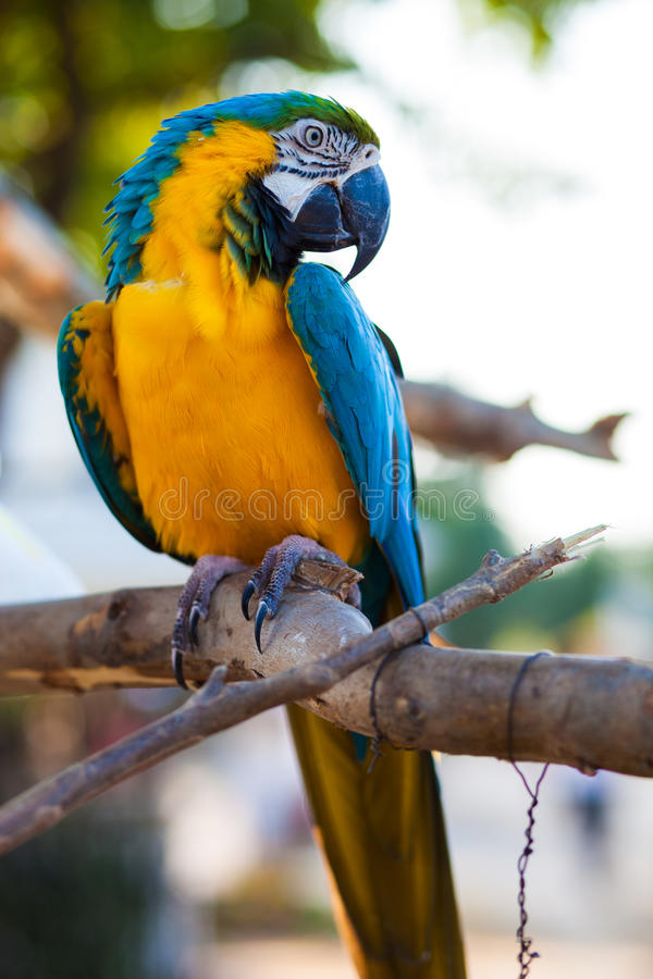 Loro del Macaw foto de archivo