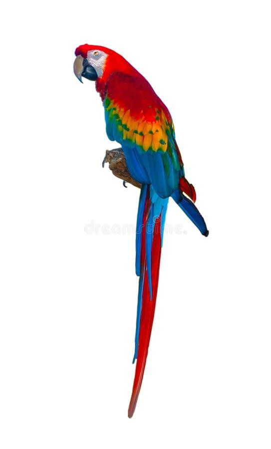 Loro del macaw de Scarlett que se sienta aislado en blanco foto de archivo libre de regalías