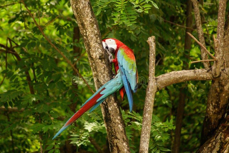 Loro en el parque, isla de Mucura, Colombia foto de archivo libre de regalías