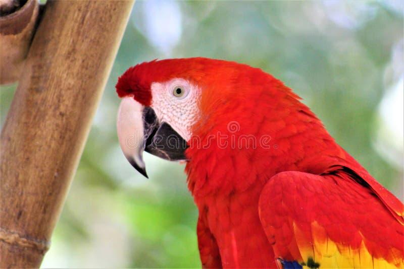 Loro en el parque zoológico de Phoenix, Phoenix, Arizona, Estados Unidos del Macaw del escarlata imagen de archivo libre de regalías