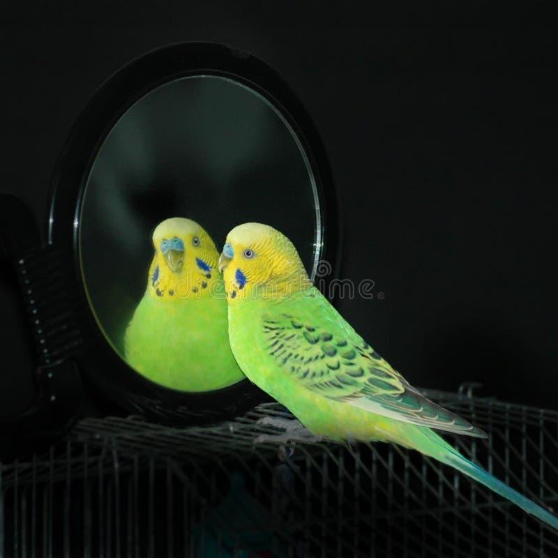Loro en un espejo imagenes de archivo