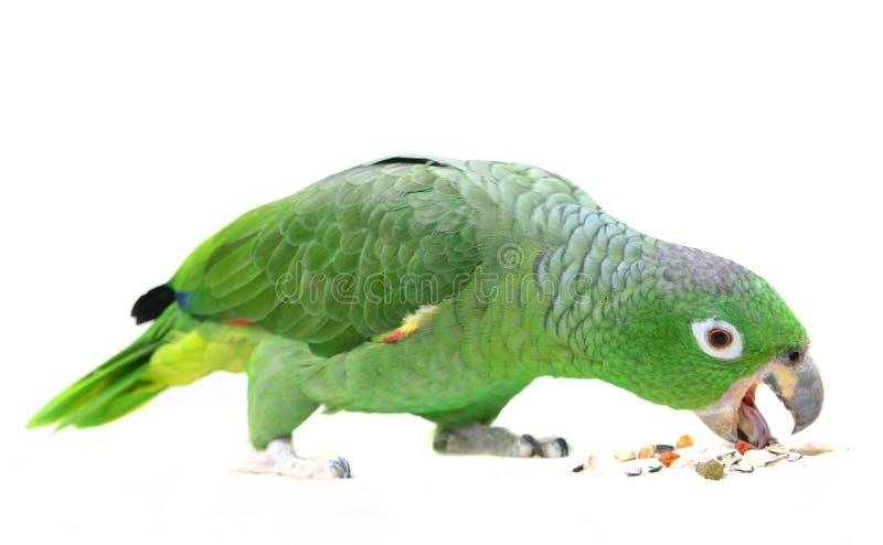 Loro harinoso del Amazonas en el fondo blanco fotos de archivo libres de regalías