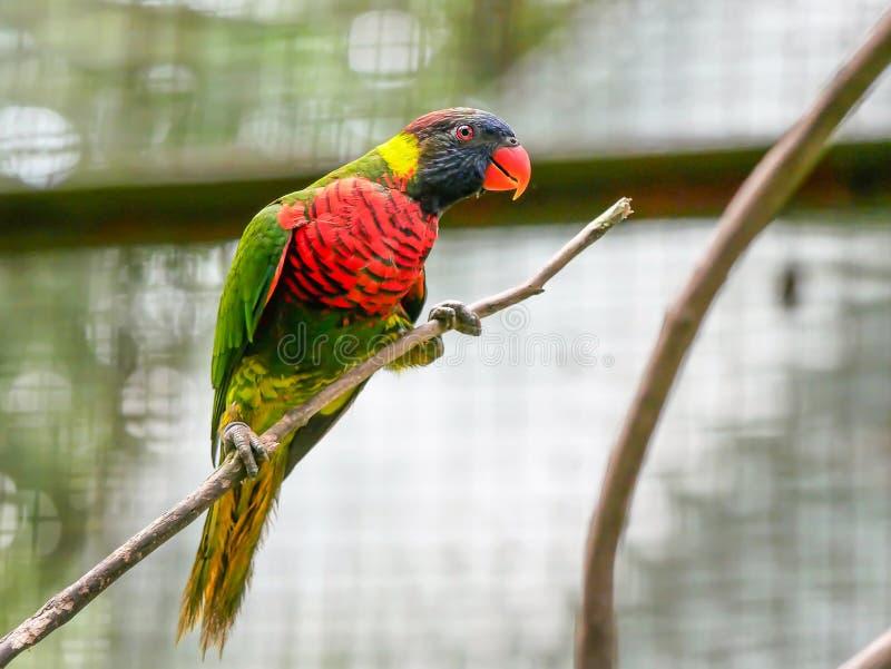 Loro, Kuala Lumpur Bird Park imágenes de archivo libres de regalías