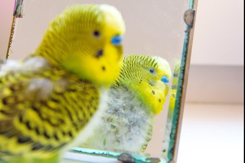 Loro nacional del budgie, aves de corral con problema de salud después de mudar Un periquito con el pecho desplumado, sin las plu fotos de archivo