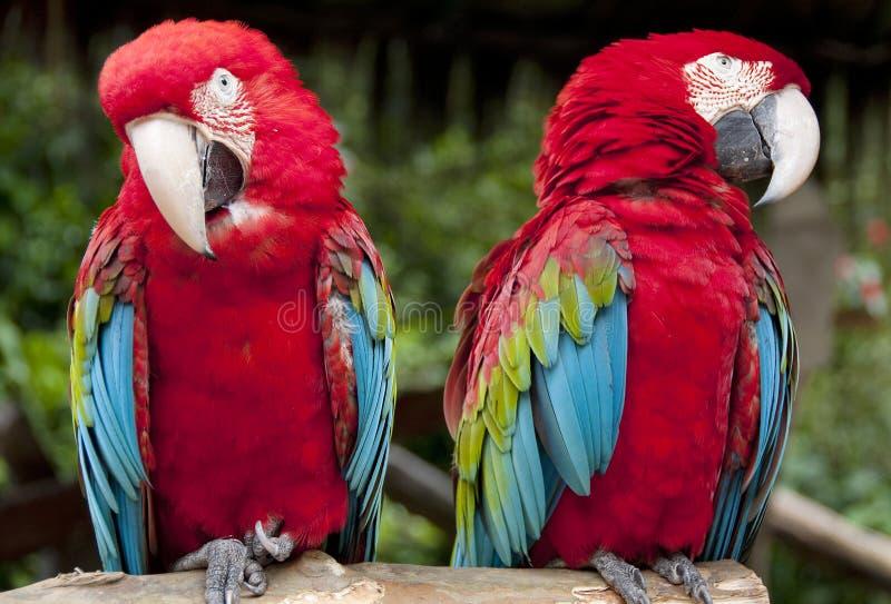 Loro o Macaw foto de archivo