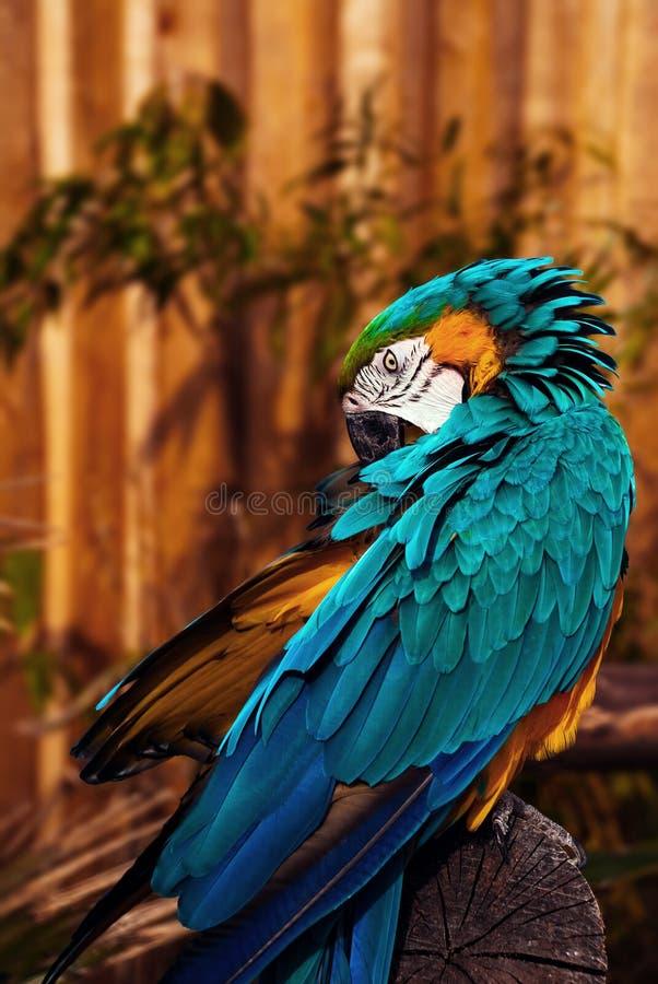 Loro que habla del macaw anaranjado del verde azul que prepara sus plumas imagenes de archivo