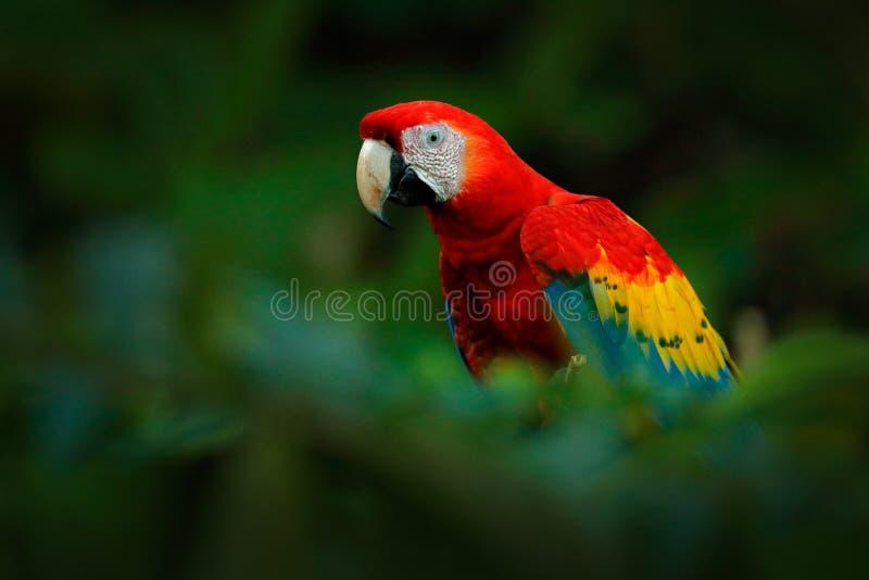 Loro rojo Primer del detalle del Macaw del escarlata del loro, Ara Macao, pájaro que se sienta en la rama con la comida, el Amazo imagen de archivo libre de regalías