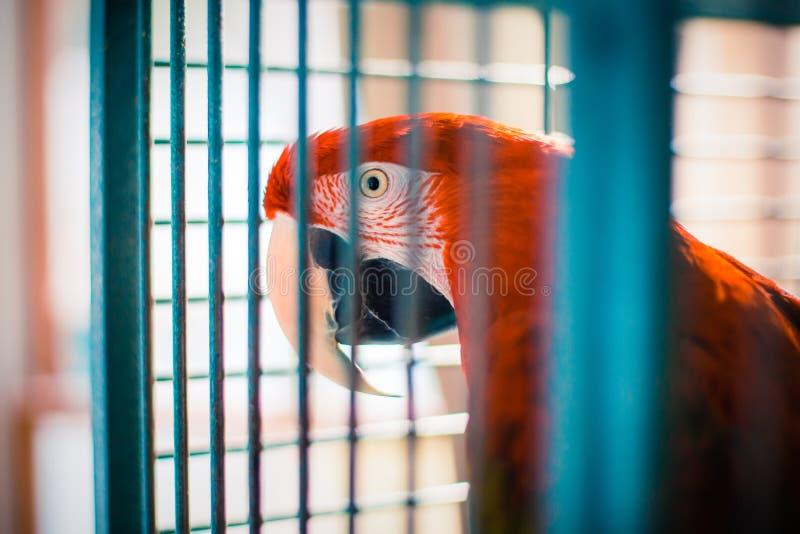Loro rojo Verde-con alas del Macaw en jaula imagenes de archivo