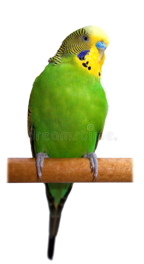 Loro verde australiano aislado imagen de archivo